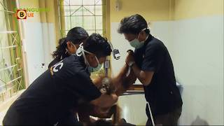 Willie Smits helpt orang-oetans in Indonesië