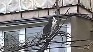 Кошка переносит котят по тонким веткам дерева, в квартиру на втором этаже.