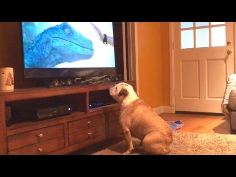 Bulldog Reacts To Jurassic World: Fallen Kingdom Trailer, Nearly Destroys TV