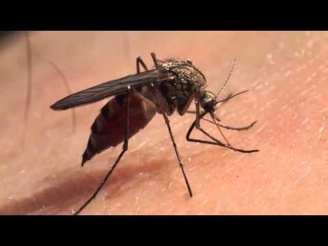Aedes Aegypti: El mosquito que amenaza la salud de la población latinoamericana