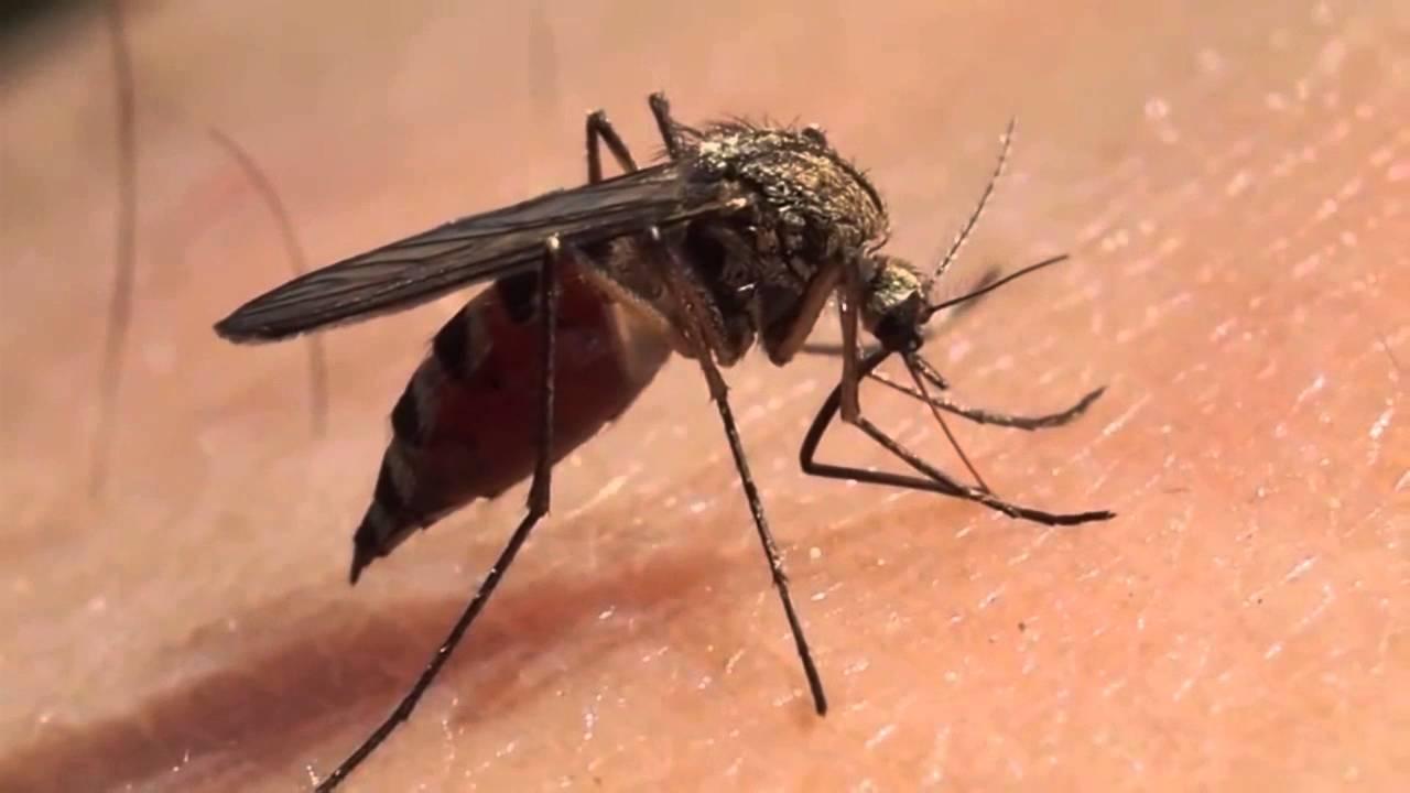 Resultado de imagen para mosquito aedes