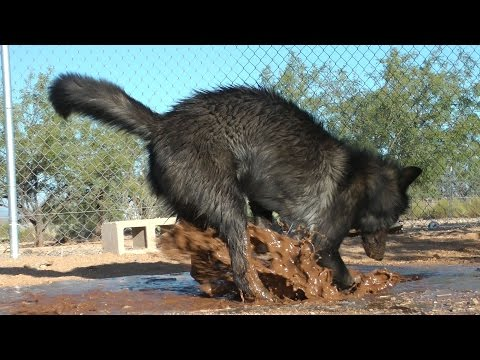 Wolf plays with Doberman & Egyptian dog in the mud ~ muddy mess! + Ostrich