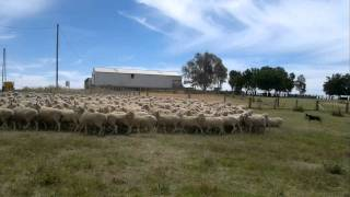 This is my big New Zealand Heading Dog putting 400 ewes and rams in...