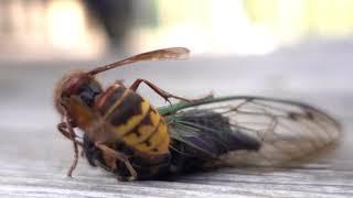Wasp vs Cicada (Sphecius speciosus 2)
