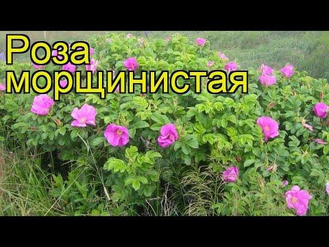 Роза морщинистая. Краткий обзор, описание характеристик, где купить саженцы, крупномеры rosa rugosa