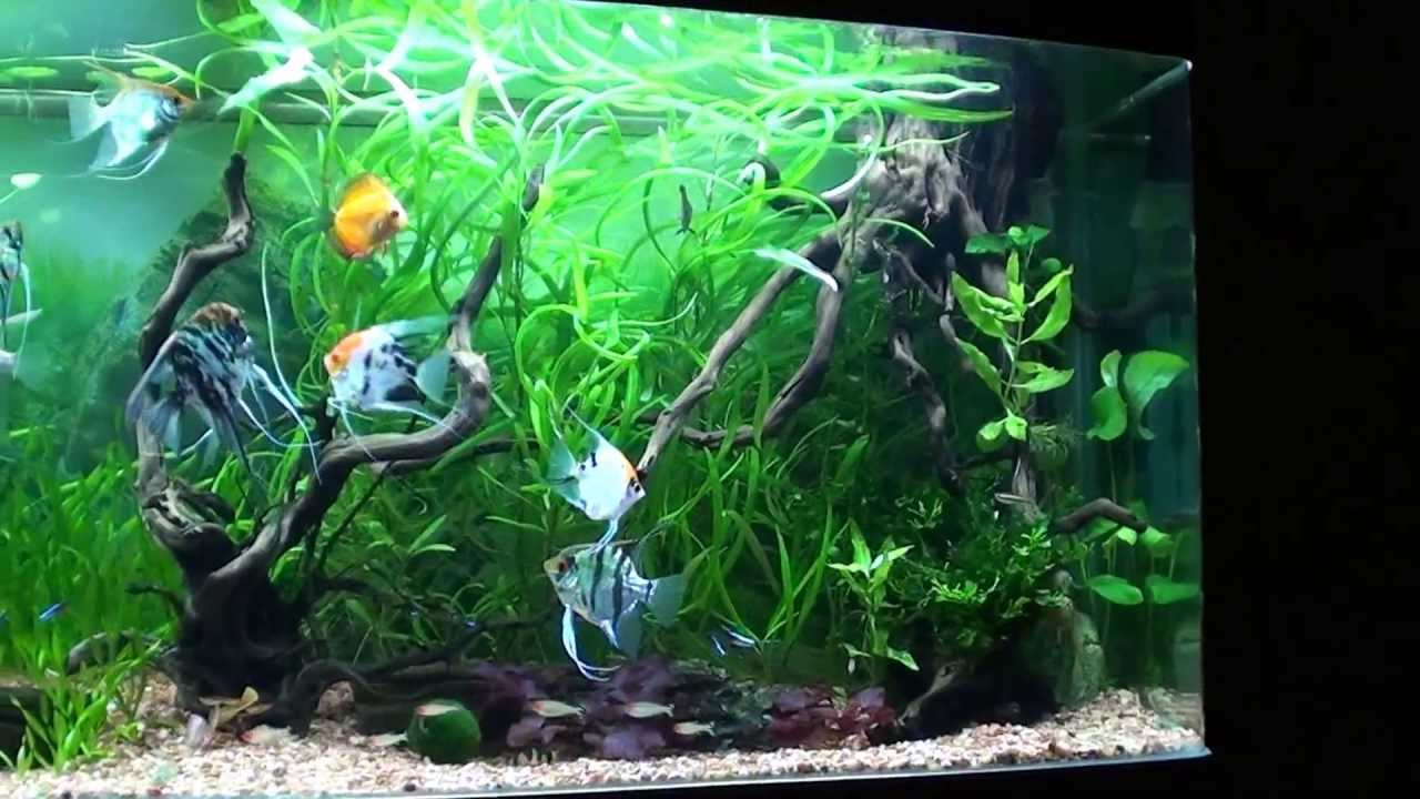 Cristian Angel Fish - Planted Tank 120 GAL = PART 1 - YouTube