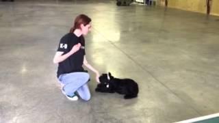 Ace Giant Schnauzer Puppy Behaviors