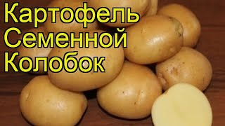 Картофель семенной Колобок (Колобок). Краткий обзор, описание характеристик, где купить картофель