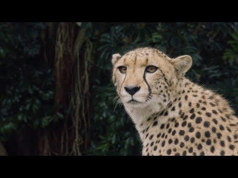 Cheetah Qia and Quartz arrive at Auckland Zoo!