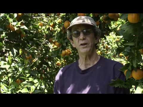 Ojai, California Pixie Tangerines