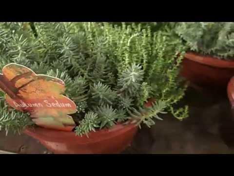 Autumn Sedum