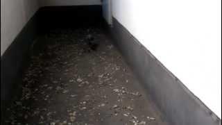 鳩よけの網の中に侵入していた鳩です 前日に糞の掃除と鳩よけワイヤーの...