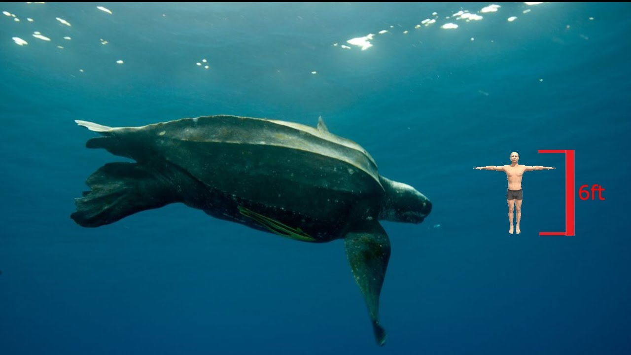 Is this really the worlds LARGEST Turtle?!