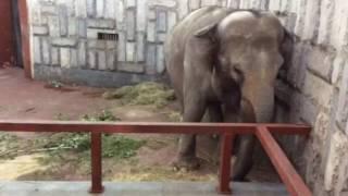 Чем питается слон в зоопарке