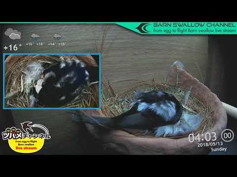 ツバメの雛が巣立つまでLIVE配信/3羽目孵化ハイライト