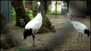 Японский журавли в Пермском зоопарке