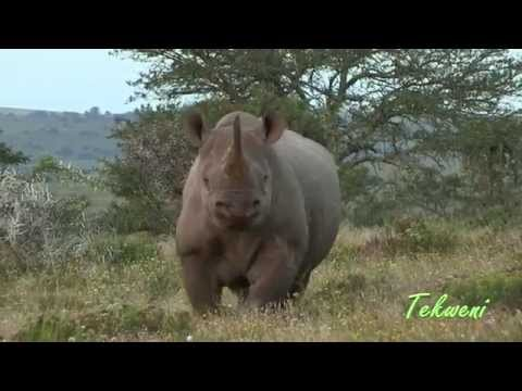 How To Stop A Charging Black Rhino