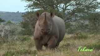 How To Stop A Chaŗging Black Rhino