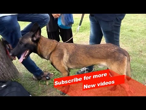 Wow ! Most Amazing dog breeds worldwide | Belgian Malinois |