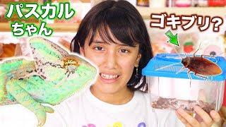 ゴキブリ買いました💦パスカルちゃんの新しいエサ!食べる…?(カメレオンのエサ)