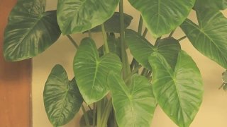 How to Care for Elephant Ear Plants (Urdu / Hindi  )