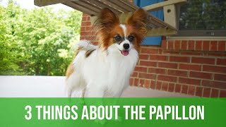 3 (Maybe) Not So Great Things About The Papillon // Percy the Papillon Dog