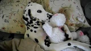 Dalmatian Angel Wants To Sleep In ***so Cute***