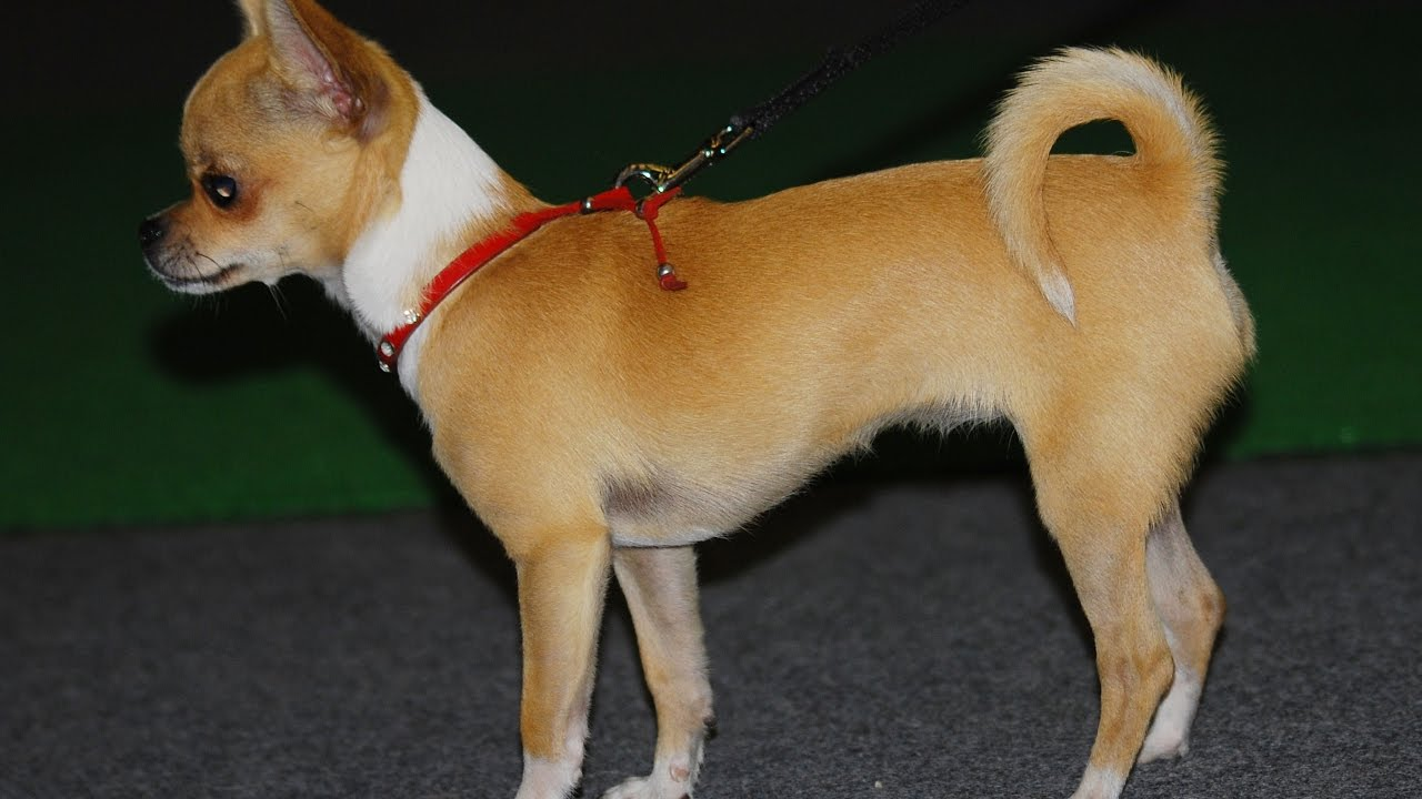 Chihuahua Raza De Perro Youtube