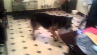 German Shepherd Vs Mini English Bulldog
