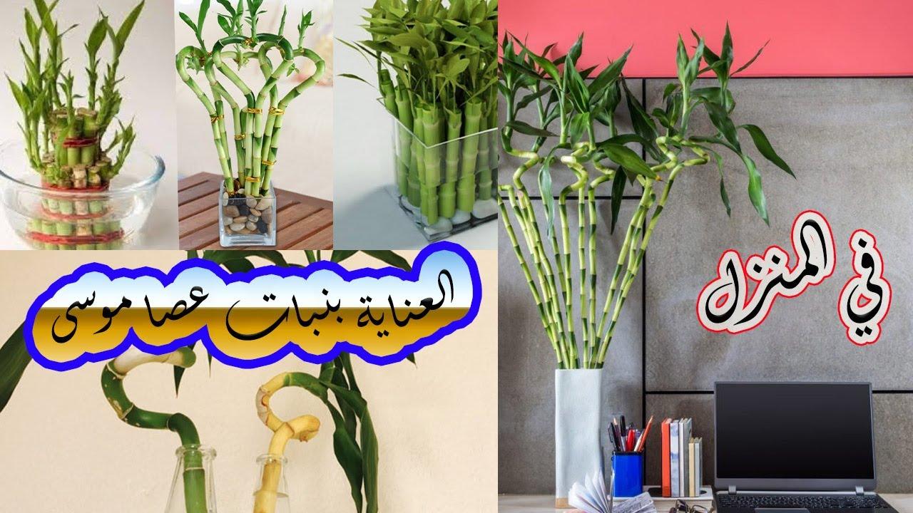 علاج اصفرار نبات البامبو العناية بنبات عصا موسى في المنزل تجربتي الشخصية Youtube