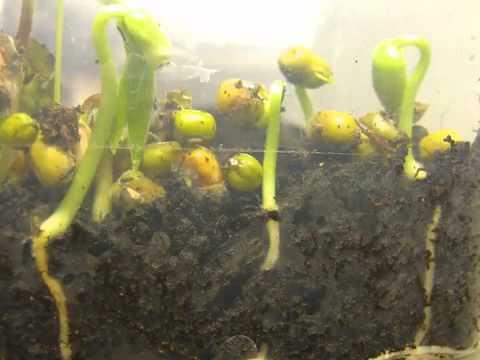 Mung Bean seeds sprouting - Sự nảy mầm của hạt - Wiki Sinhhoc
