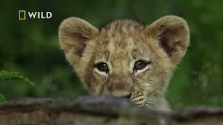 Zrozpaczona lwica na marne szukała swojej pociechy! [Królestwo drapieżników]