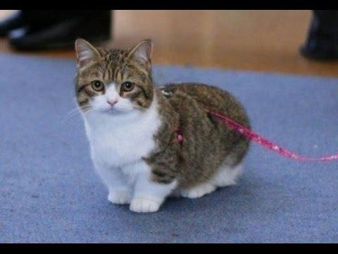 Породы котов манчкин