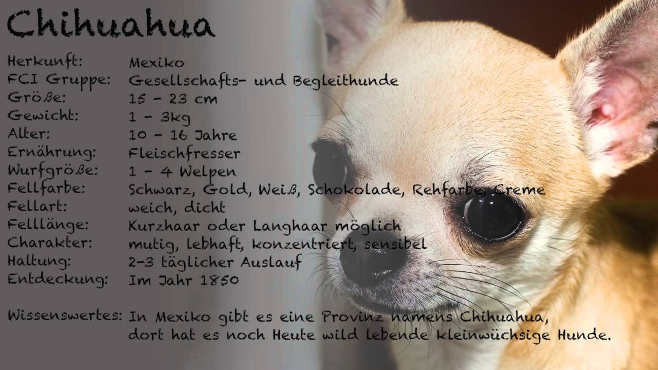 steckbrief chihuahua youtube