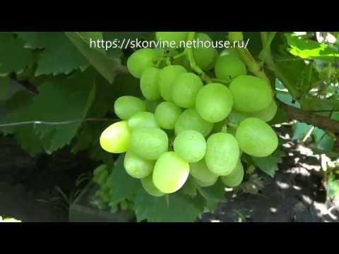 Ранние сорта винограда 2019. Дарья и Ландыш | характеристика | загорулько | винограда | крапйнов | виноград | крупный | каталог | вкусный | ранний | мускат