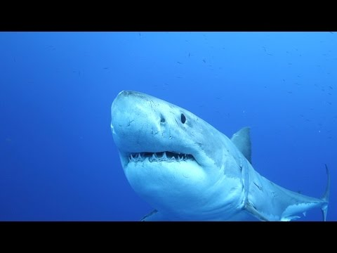 Great White Sharks of Guadalupe Island, Mexico