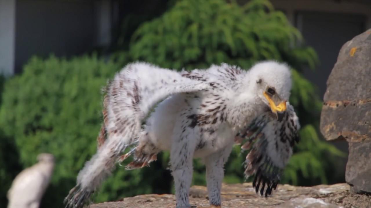 Junge Adler