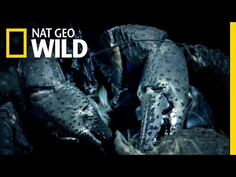 A Giant Coconut Eating Crab | Wild Indonesia