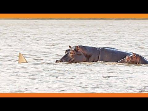 1 Bull Shark Swim-Off Against 10+ Hippos