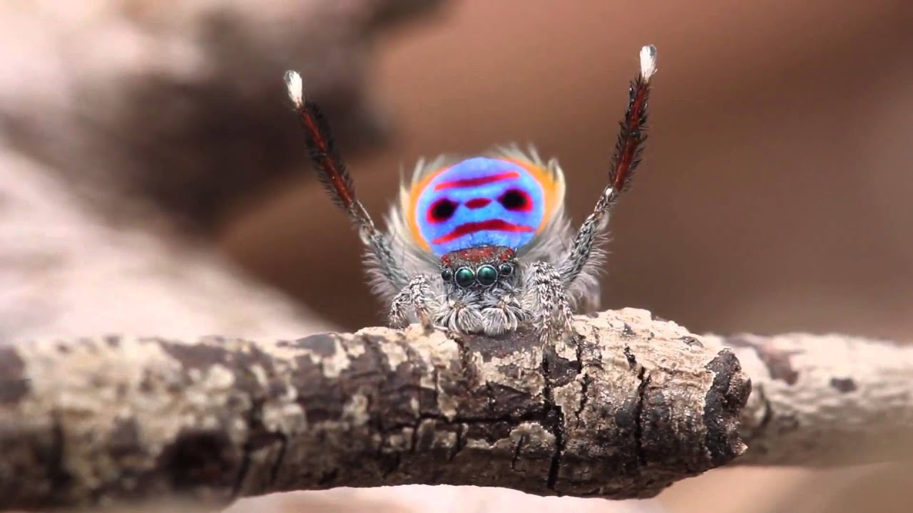 peacock jumping spider gif
