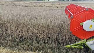 Żniwa żyta hybrydowego 2018 susza, plon 7,7 tony