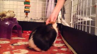 """HOW TO: Train your Guinea Pig to Do """"Up"""" and """"Spin"""""""