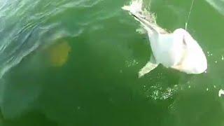 Pez gigante se come un tiburón de una sola mordida   Grouper eats 4ft shark in one bite