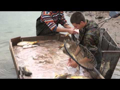 термобелье просто инкубация карпа рыбы видео само