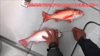 駿河湾 清水沖、用宗沖のアカムツ(ノドグロ)釣り 神経〆で鮮度抜群‼