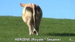 Génisses pleines élevage MATEUIL par Simon Genetic