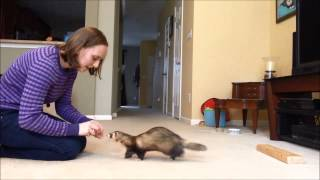 Ferret Training 302: Teaching a ferret to stay