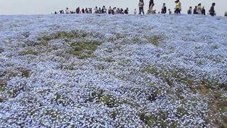 国営ひたち海浜公園ネモフィラの丘 ネモフィラの丘 検索動画 24