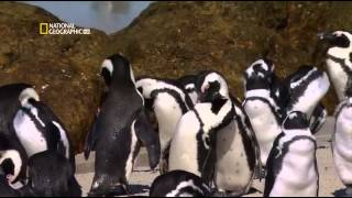Documentales Increibles | Vida Animal Pinguinos, Zona De Muerte 2014