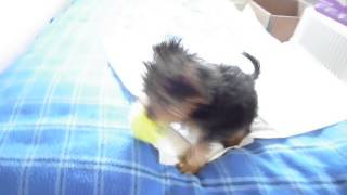 My 10 Weeks Yorkshire Terrier Gets The Ball Back To Mommy - Fetch A Ball